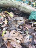 Frog. Forest frog. The instinct of the animal world. Forest traveler autumn. Wildlife. Natural Camouflage Stock Photos