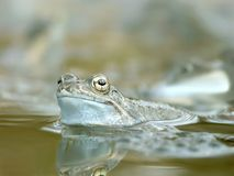 Frog in the forest pond in spring Stock Photography