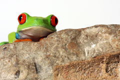 The Frog & The Fossil Stock Photography