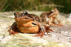 Frog and Frog Royalty Free Stock Photos