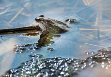 Frog and Frog Spawn Royalty Free Stock Photos