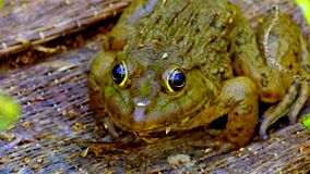 Frog. S are amphibians are great meat cooked meal easy grow some sensitivity can lean ธุ์ when the adults may have a weight in kilos royalty free stock photography