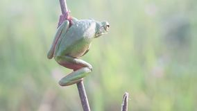 Frog, frogs, tree frogs, close up, amphibians stock footage