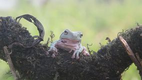 Frog, frogs, tree frogs, close up, amphibians. Wallace`s flying frog, frogs, tree frogs, close up, amphibians Wallace`s flying frog, frogs, tree frogs, close up stock video footage