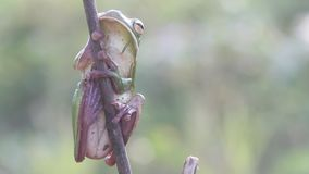 Frog, frogs, tree frogs, close up, amphibians. Wallace`s flying frog, frogs, tree frogs, close up, amphibians Wallace`s flying frog, frogs, tree frogs, close up stock video