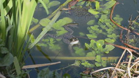 Frog and frogspawn in garden pond stock footage