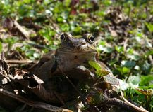 Frog in front of the camera Stock Photo