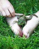 Frog fun. Vertical shot of a green frog sitting on a childs feet in the green grass stock images