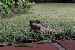 Frog in the garden. Close up Royalty Free Stock Photography
