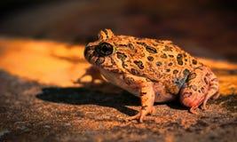 Frog. Garden dweller Australian insect eater Australia Australian Amphibious Reptile Dams Lakes Rivers Royalty Free Stock Photos