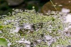 A frog in a garden pond Stock Photography