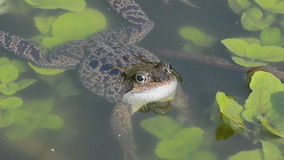 Frog  in garden pond Stock Photo