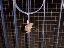 Frog on a gate Stock Photos