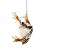 Frog on glass Royalty Free Stock Images