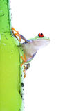 Frog on glass isolated white Stock Images