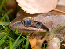 Frog in the grass Royalty Free Stock Images