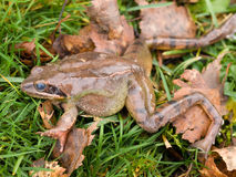 Frog in the grass Royalty Free Stock Photography