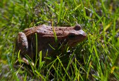 Frog in the grass Royalty Free Stock Photos