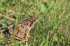 A frog in the grass Stock Image