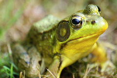 Frog in grass. Close up of of northern leopard frog Royalty Free Stock Photos