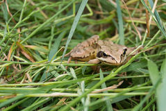 Frog_grass Photo libre de droits