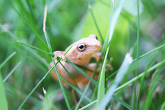Frog on grass Royalty Free Stock Images