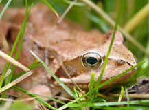 Frog in grass Stock Image