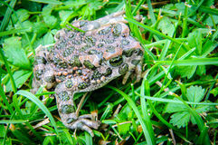 Frog in grass Stock Images