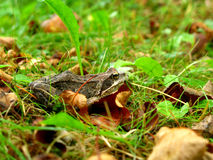 Frog in the grass Stock Image
