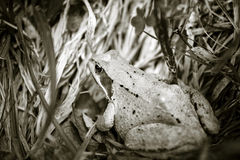 Frog in grass Stock Photos