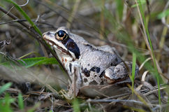 Frog on grass Royalty Free Stock Photo