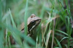 Frog in the grass. Royalty Free Stock Photography
