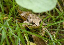 Frog between grass royalty free stock photos