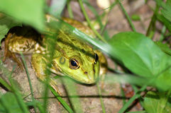 Frog in grass Stock Photography
