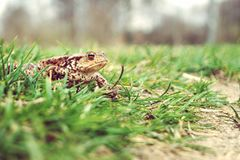 Frog on the grass Royalty Free Stock Photography