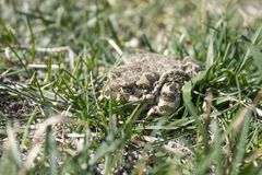 Frog in the grass. A green frog sits in the grass. Toad resting in the spring on the grass stock photo
