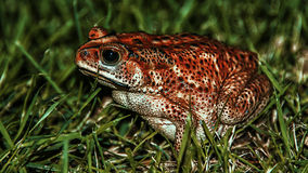 Frog in the grass Royalty Free Stock Image