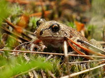 A frog in a grass Stock Photography