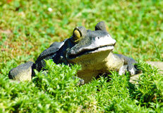 Frog is in a grass Royalty Free Stock Photo