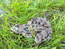 Frog in the grass Stock Photography