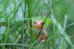 Frog on grass Royalty Free Stock Photography