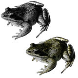 Frog. Gravure effect in Photoshop vector illustration