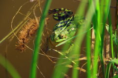 Frog. Greeen frog in a pond with grass Stock Image