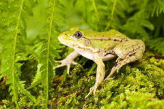 Frog green Royalty Free Stock Image