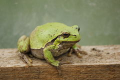 Frog. A green frog Stock Photos