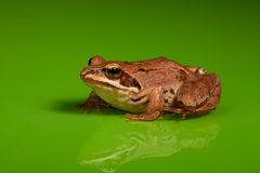 Frog on the green background Royalty Free Stock Images