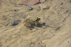 Frog green and brown color is sitting in the river water on the sand and stones Stock Photo