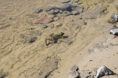 Frog green and brown color is sitting in the river water on the sand and stones Royalty Free Stock Photos