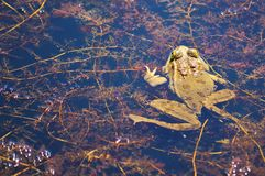 Frog, Green Frog, Water Frog, Pond Royalty Free Stock Photography