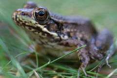 Frog. Green gold and brown frog in a grassy meadow in the morning light Stock Images